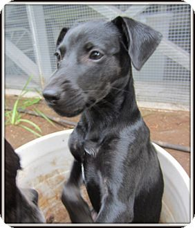 Rat Terrier/Dachshund Mix Puppy for adoption in South Plainfield, New Jersey - Otis