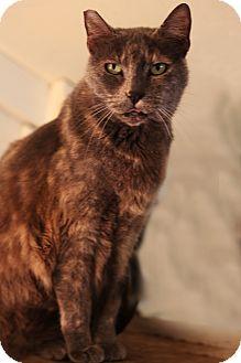 Domestic Shorthair Cat for adoption in Redondo Beach, California - Bunny