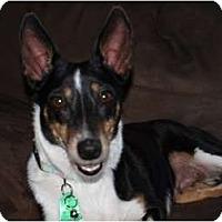Adopt A Pet :: Belle - Toronto/Etobicoke/GTA, ON