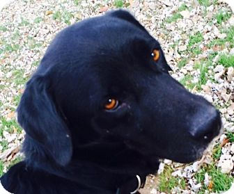 Labrador Retriever Mix Dog for adoption in Mount Juliet, Tennessee - Shadow