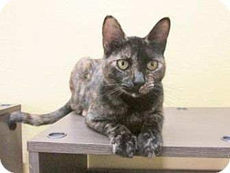Domestic Shorthair Cat for adoption in Benbrook, Texas - Annabelle