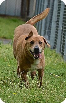 Labrador Retriever Mix Dog for adoption in Jacksonville, Arkansas - Duke