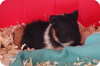 Guinea Pig for adoption in Fullerton, California - Brisbane
