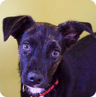 Shepherd (Unknown Type) Mix Puppy for adoption in Irvine, California - UMA