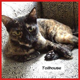 Domestic Shorthair Cat for adoption in Miami, Florida - Tollhouse