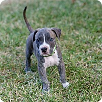 Adopt A Pet :: Bullet - Austin, TX