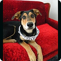 Adopt A Pet :: Lily - Monteregie, QC