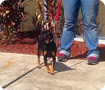 Chihuahua Dog for adoption in Maquoketa, Iowa - Lily
