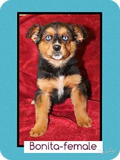 Anatolian Shepherd Mix Puppy for adoption in Allentown, Pennsylvania - Bonita (Pom-Erin)