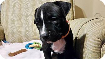 Mastiff/Cane Corso Mix Puppy for adoption in Alton, Illinois - Kita