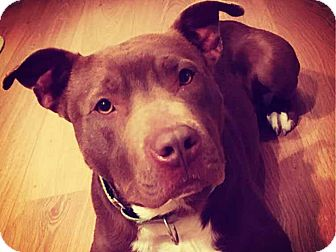 American Pit Bull Terrier Mix Dog for adoption in Charlotte, North Carolina - Woody