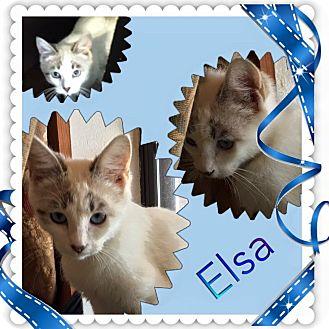 Siamese Cat for adoption in Ravenna, Texas - Elsa