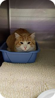 Domestic Shorthair Cat for adoption in Cody, Wyoming - Petey