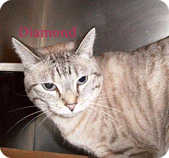 Domestic Shorthair Cat for adoption in El Cajon, California - Diamond