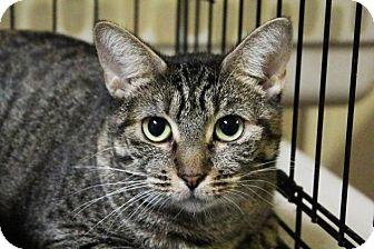 Domestic Shorthair Cat for adoption in Flower Mound, Texas - Sugar