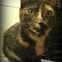 Domestic Shorthair Cat for adoption in St. Louis, Missouri - Babylon