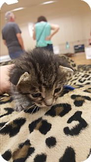 American Shorthair Kitten for adoption in Valencia, California - Willie