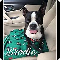 Adopt A Pet :: Brodie - Weatherford, TX