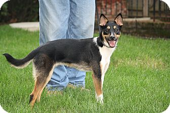Basenji/Border Collie Mix Dog for adoption in West Milford, New Jersey - IMMI-pending