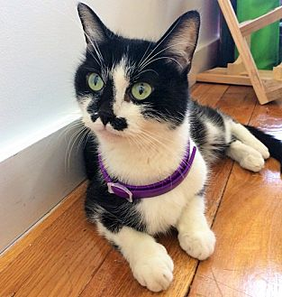 Domestic Shorthair Cat for adoption in Brooklyn, New York - Stacey, An Amazing Rescue Story