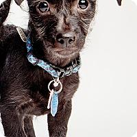 Adopt A Pet :: Cabernet: adoption pending - Astoria, NY