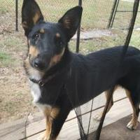 Shepherd (Unknown Type) Mix Dog for adoption in Livingston, Texas - Sissy