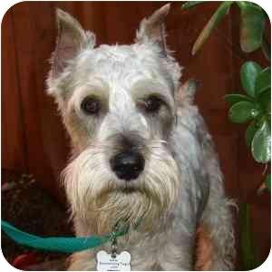 Schnauzer (Miniature) Dog for adoption in Redondo Beach, California - Charlie