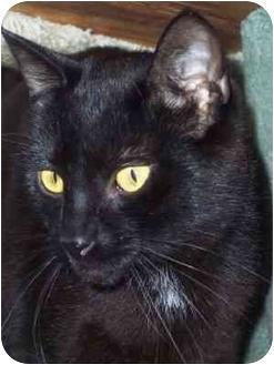 Domestic Shorthair Cat for adoption in Delmont, Pennsylvania - Tinker