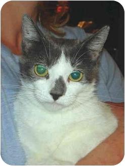 Domestic Shorthair Cat for adoption in Colmar, Pennsylvania - Leesa