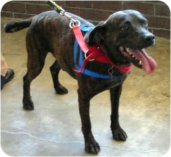 Labrador Retriever/Catahoula Leopard Dog Mix Dog for adoption in Charlottesville, Virginia - Percy