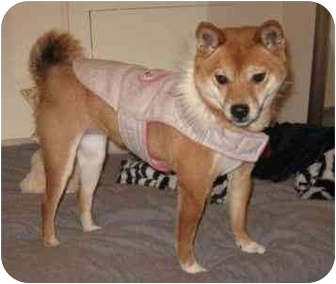 Shiba Inu Dog for adoption in Round Lake, Illinois - Sheeba (Nebraska)