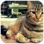 Photo 3 - Domestic Shorthair Cat for adoption in Centerburg, Ohio - Meesa