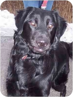 Flat-Coated Retriever Mix Dog for adoption in Overland Park, Kansas - Cole