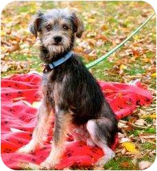 Yorkie, Yorkshire Terrier/Rat Terrier Mix Dog for adoption in Anderson, Indiana - Foster