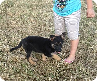 German Shepherd Dog Puppy for adoption in Fort Worth, Texas - LILLY - ADOPTED
