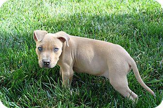 American Pit Bull Terrier Mix Puppy for adoption in Tustin, California - Razor