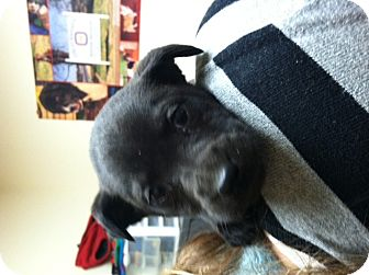 Keeshond/Retriever (Unknown Type) Mix Puppy for adoption in CHAMPAIGN, Illinois - MCLEAN