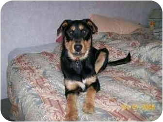 Labrador Retriever/Airedale Terrier Mix Dog for adoption in mishawaka, Indiana - Odin