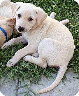 Labrador Retriever Mix Puppy for adoption in Long Beach, California - Asher