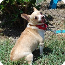 Chihuahua Mix Dog for adoption in Bradenton, Florida - Juan