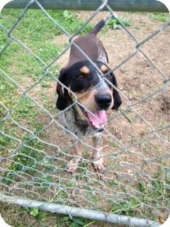 Bluetick Coonhound Dog for adoption in New Philadelphia, Ohio - Bailey