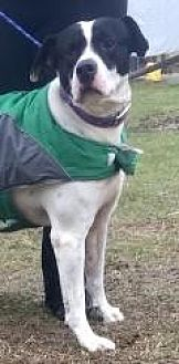 Dalmatian/Labrador Retriever Mix Dog for adoption in Mount Pleasant, South Carolina - Uno