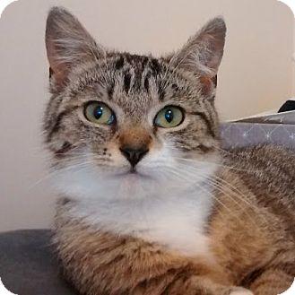 Domestic Shorthair Kitten for adoption in Toronto, Ontario - Betty