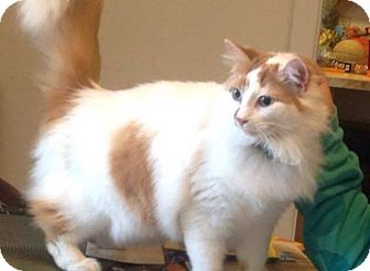 Domestic Longhair Cat for adoption in Woodstock, Ontario - Amber