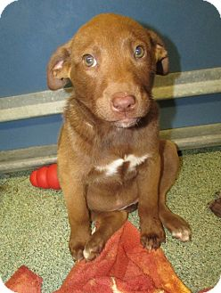 Labrador Retriever Mix Puppy for adoption in Warrenton, North Carolina - Addie and Adele