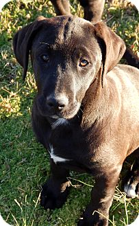 Labrador Retriever/Hound (Unknown Type) Mix Puppy for adoption in Westport, Connecticut - Chaos