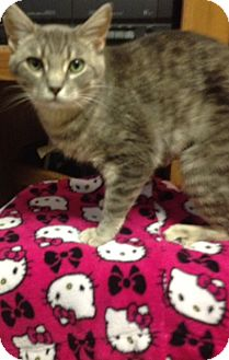 Domestic Shorthair Cat for adoption in Covington, Kentucky - Emma