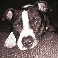 American Pit Bull Terrier Mix Dog for adoption in Tampa, Florida - Sherman