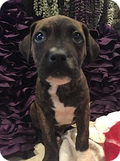 Boxer/Pit Bull Terrier Mix Puppy for adoption in Hillsboro, Missouri - Maverick