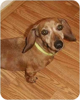 Dachshund Dog for adoption in Columbia Falls, Montana - Daisy